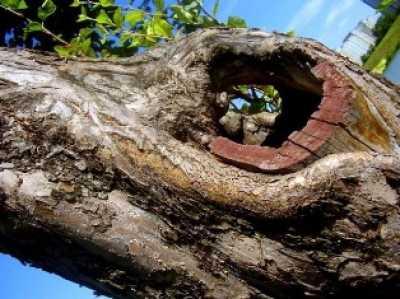 Как заделать дупло в плодовом дереве