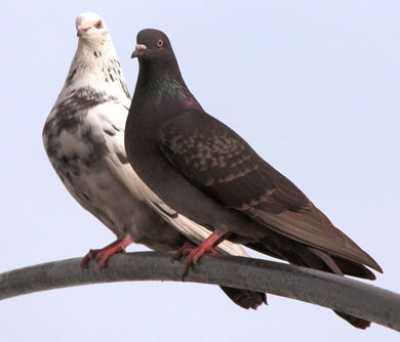 Сезон размножения голубей